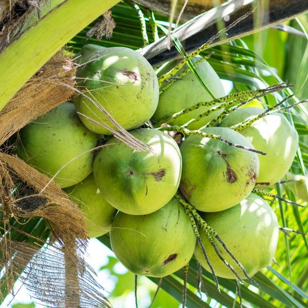 Various Key Benefits of Coconut in Your Daily Fitness